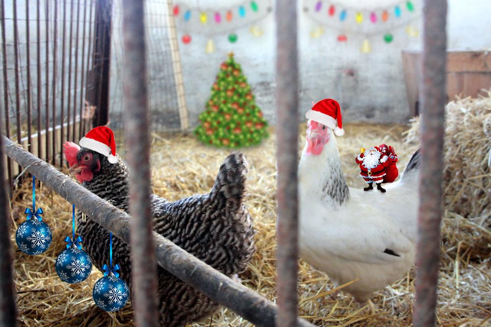 Hønsene skal blive inde i julen